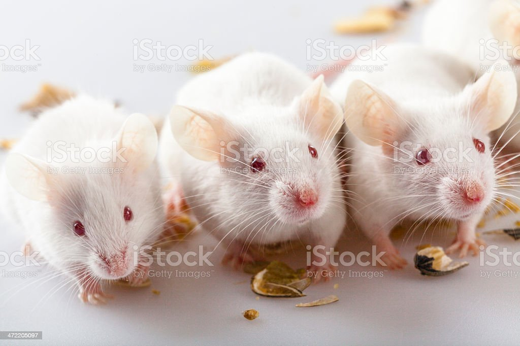 Albino mouse eating and playing stock photo