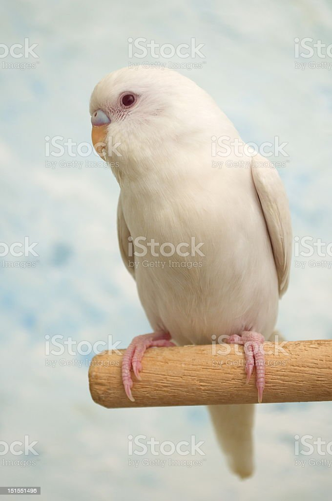 Albino parakeet stock photo