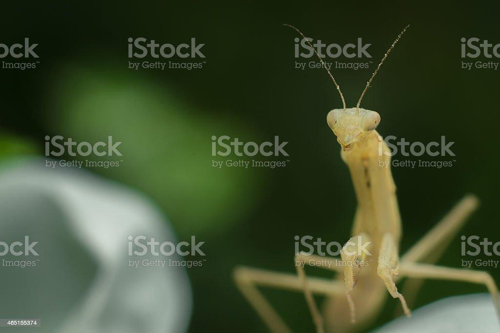 Albino Praying Mantis royalty-free stock photo