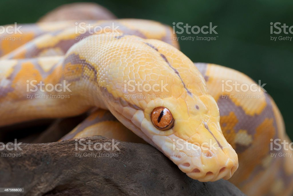 Albino Reticulated Python (Purple Phase) stock photo