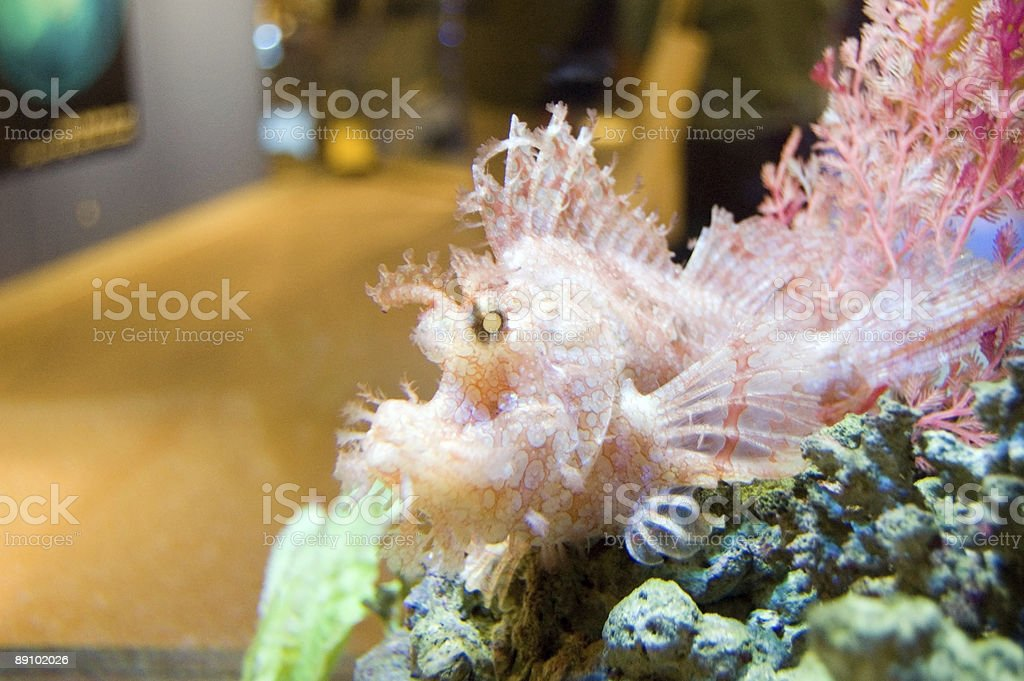 Albino Stonefish stock photo