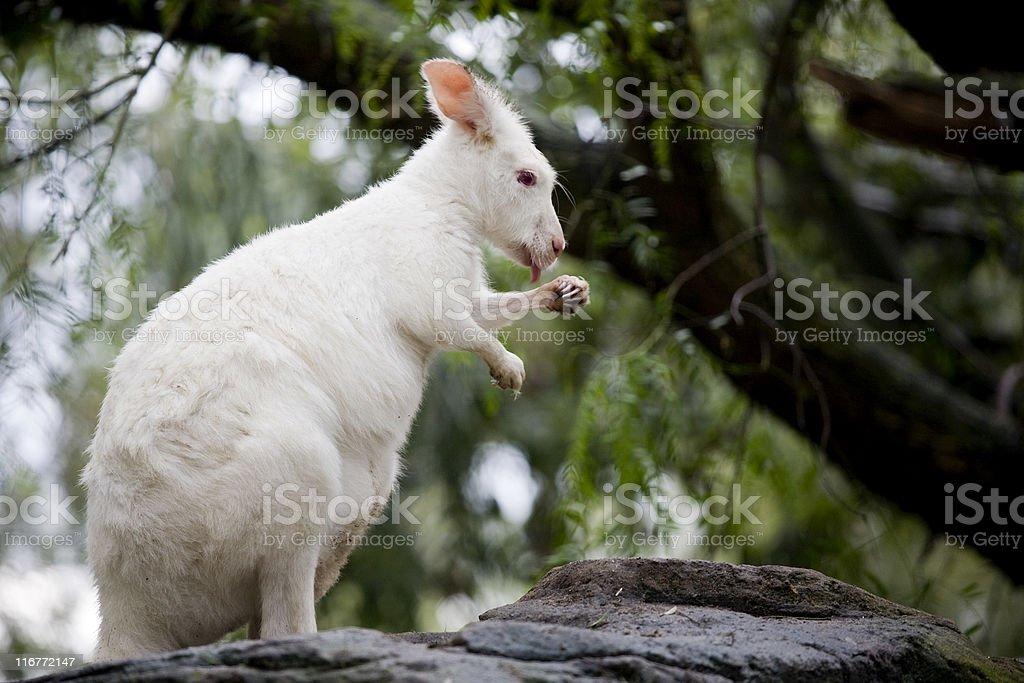 albino wallaroo royalty-free stock photo