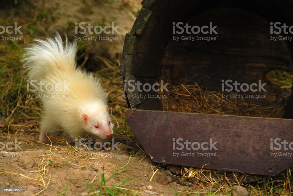 Albino Young Skunk near a Shelter. stock photo