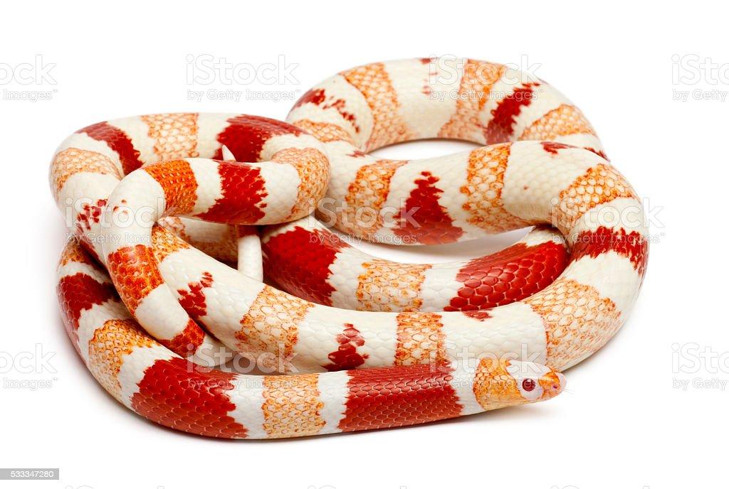 Albinos Honduran milk snake, Lampropeltis triangulum hondurensis, stock photo