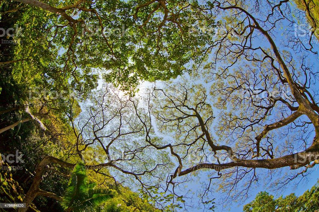 Albizia saman Hawaii stock photo