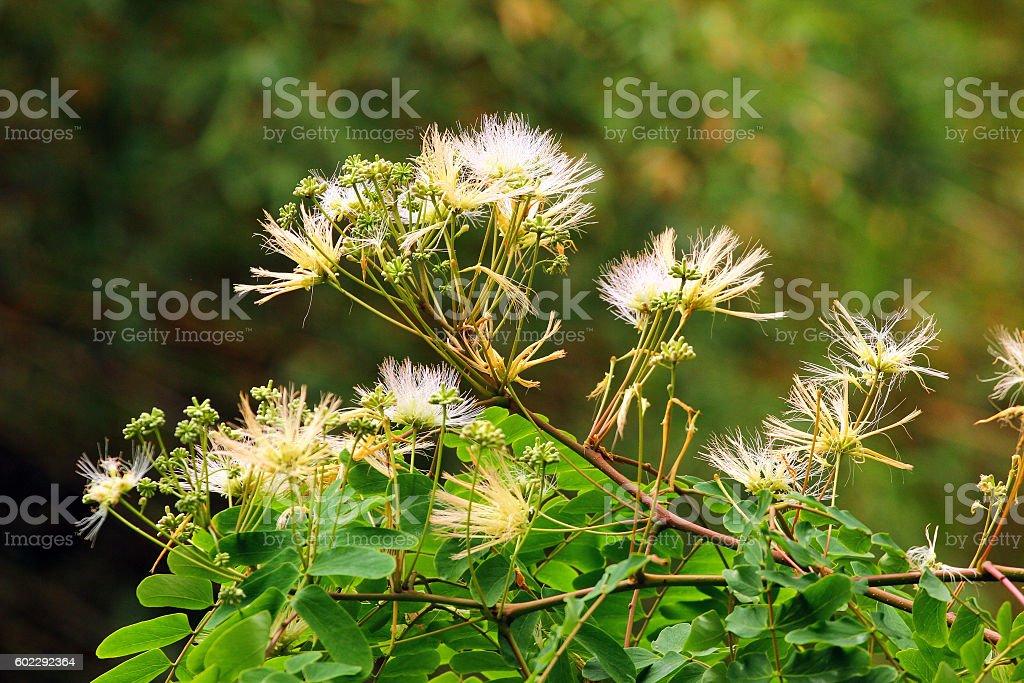 Albizzia kalkora, or julibrissin (Persian silk tree) flowers stock photo