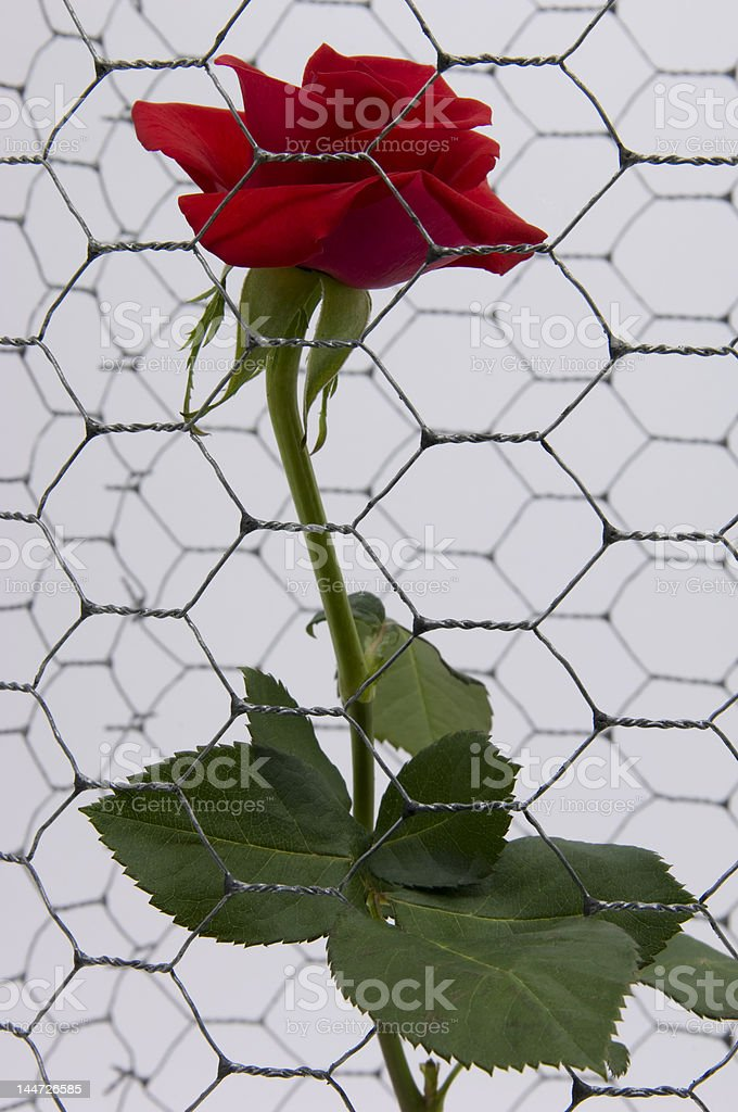 AlcatrazRose01 royalty-free stock photo