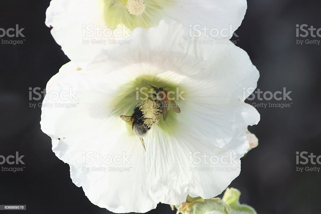 Alcea rosea  White hollyhock (Alcea rosea) stock photo