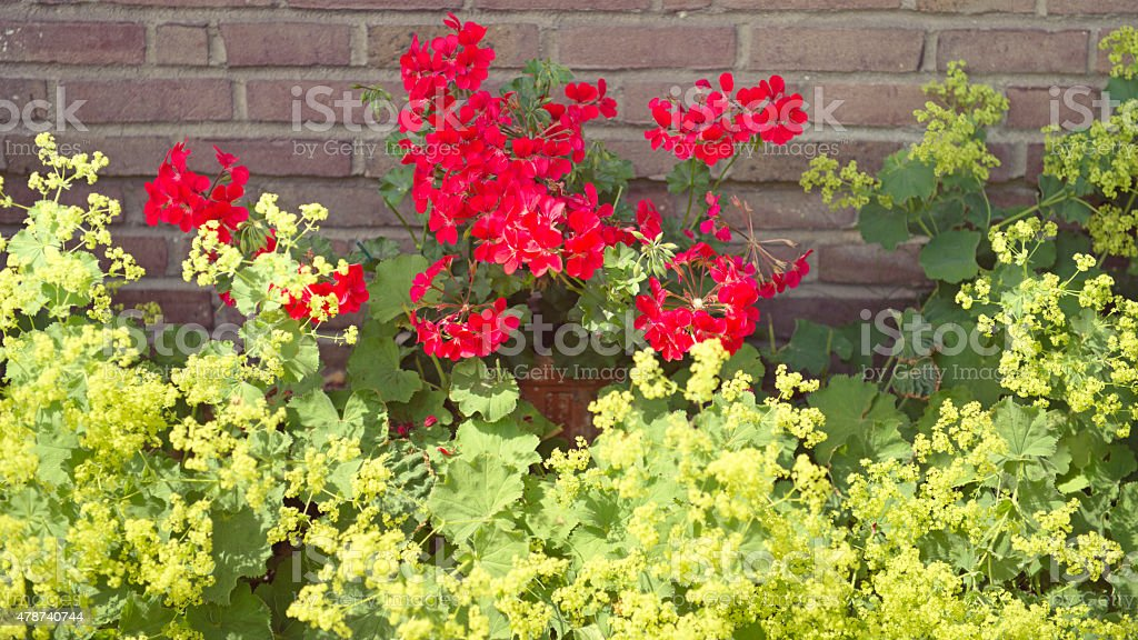 Alchemilla mollis and pelargonium  flowers stock photo