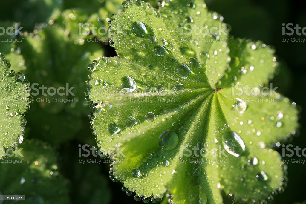 Alchemilla or Lady's mantle plant with raindrops on the leaves stock photo