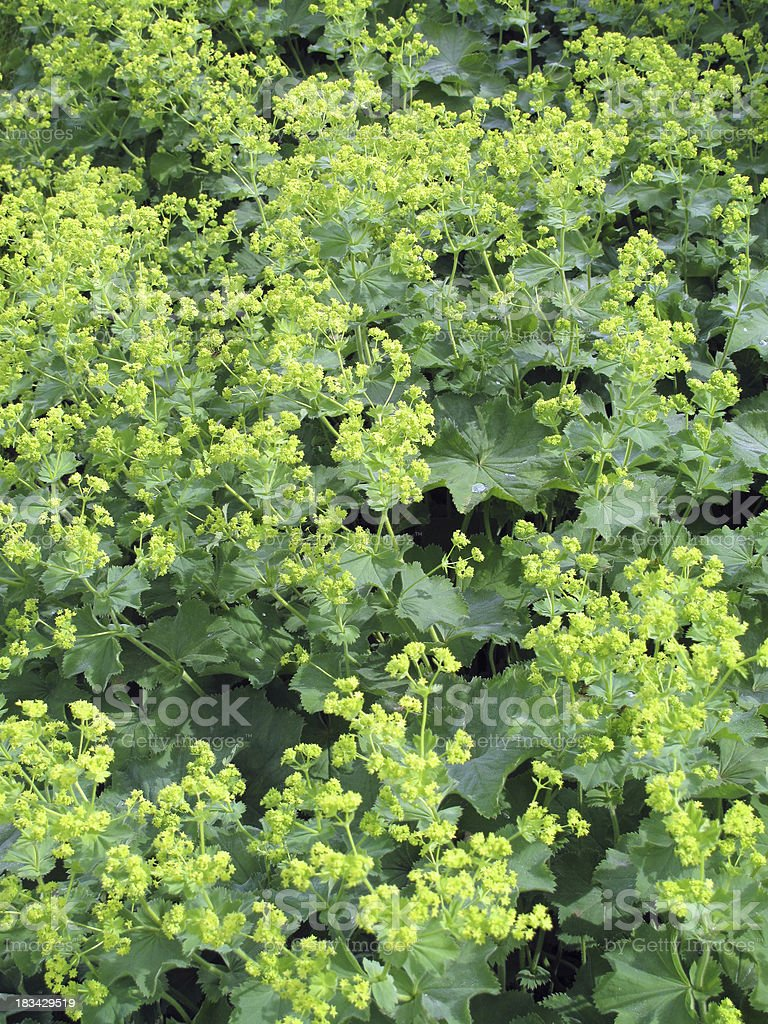 Alchemilla xantochlora - Frauenmantel stock photo