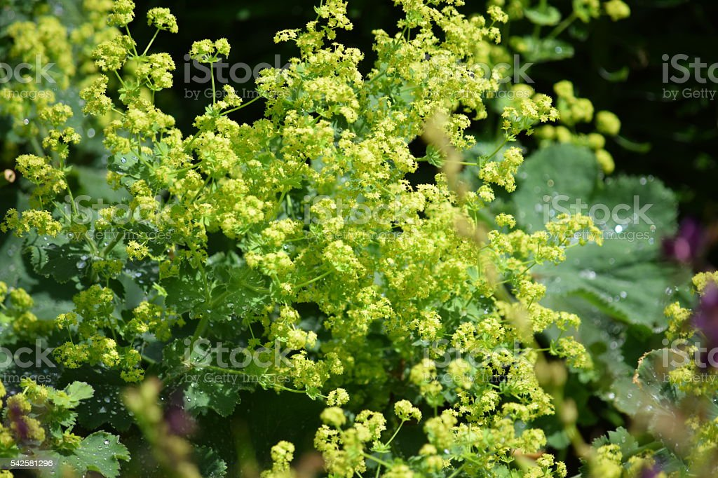 Alchmilla mollis flowers, Lady's Mantle stock photo