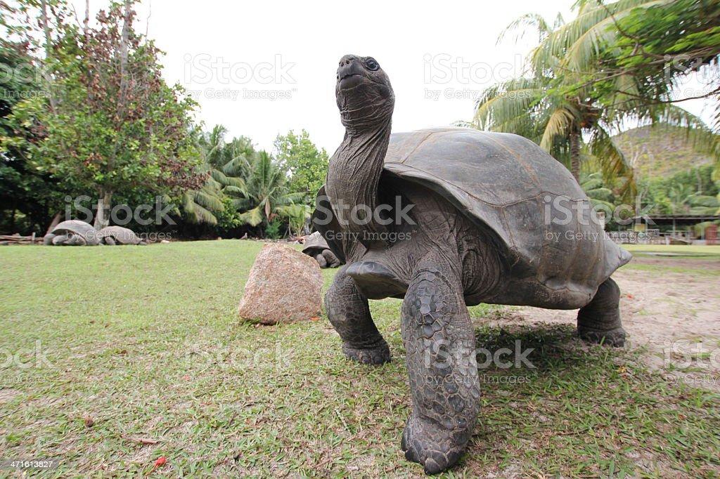 Aldabra Giant Tortoise, Aldabrachelys gigantea, Seychelles royalty-free stock photo