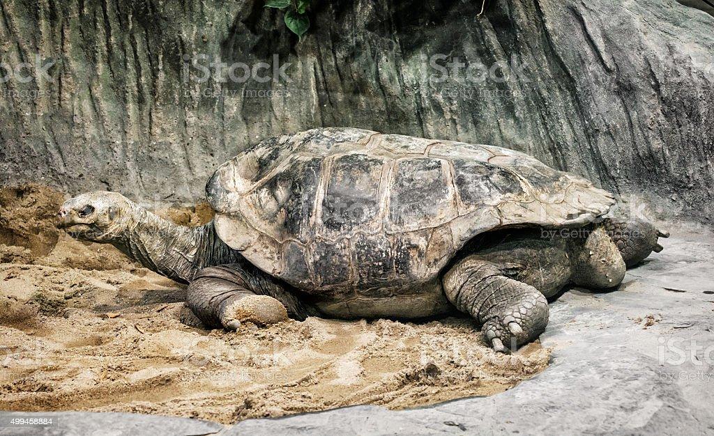 Aldabra giant tortoise (Aldabrachelys gigantea), endangered anim stock photo