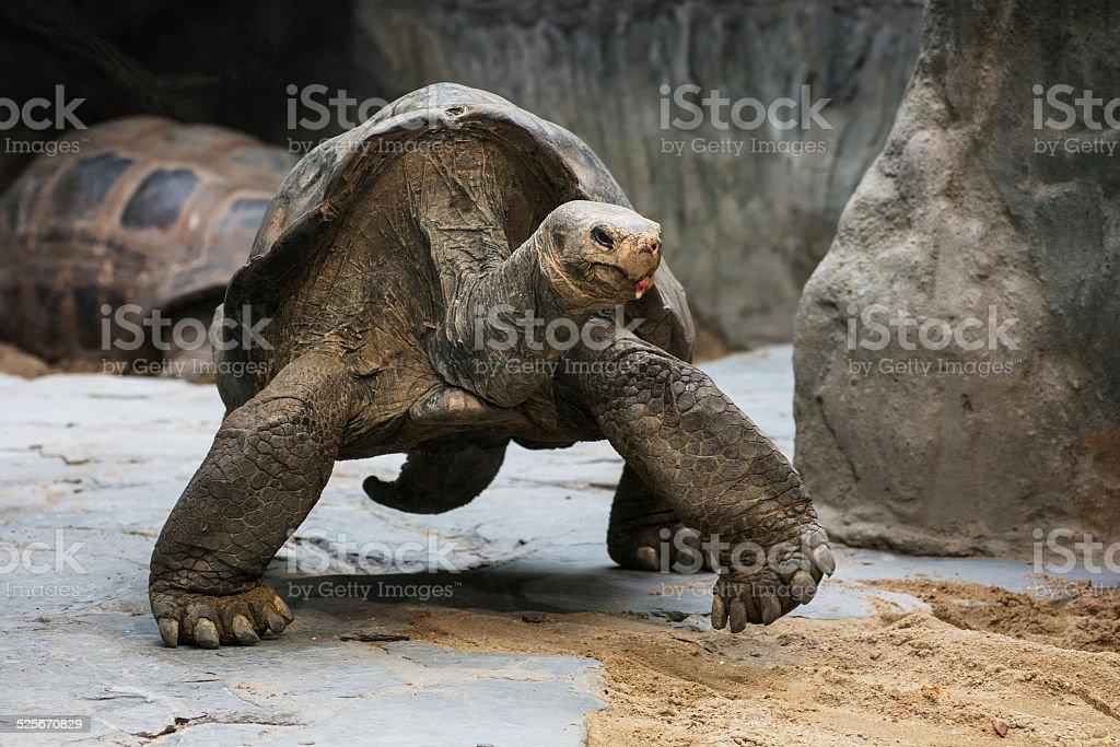 Aldabra giant tortoise (Aldabrachelys gigantea) stock photo