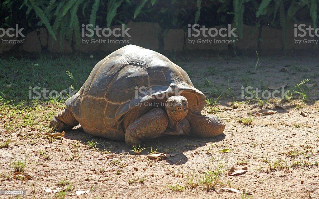 Aldabra Giant Tortoise stock photo