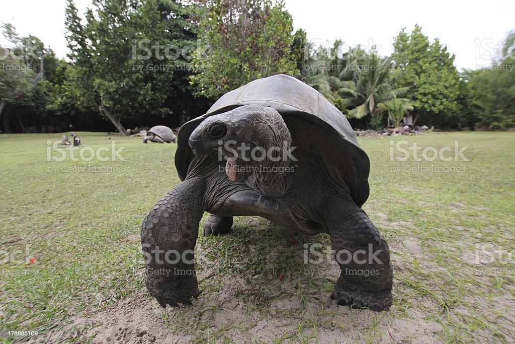Aldabra Giant Tortoise with open mouth, Aldabrachelys gigantea, Seychelles stock photo