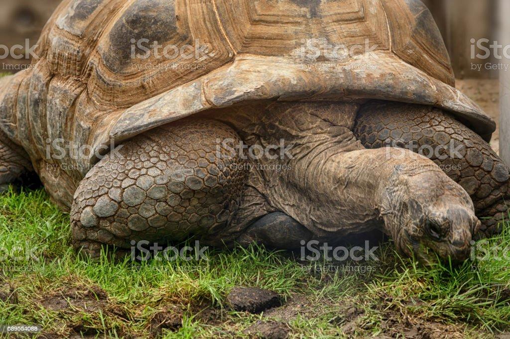 Aldabra Seychelles giant tortoise stock photo
