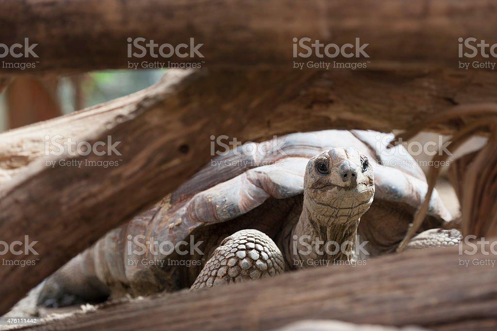 aldabra turtle stock photo