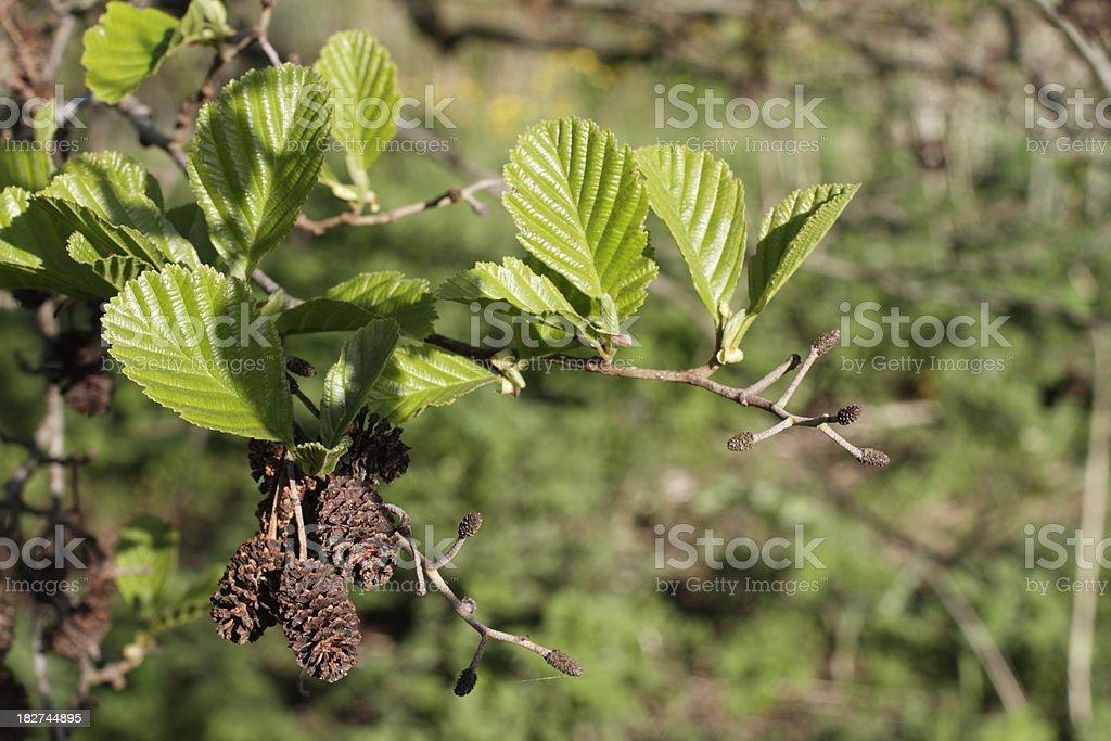 Alder Alnus glutinosa female catkins strobili spring green leaves stock photo