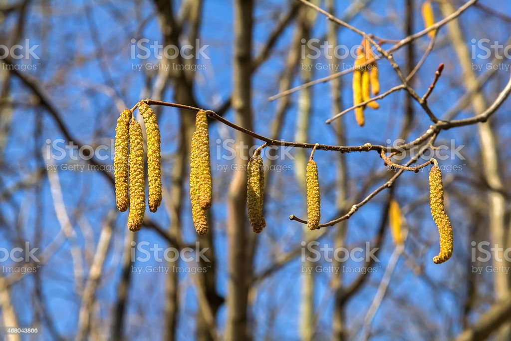 Alder Branch With Catkins Against The Sky And  Forest. stock photo