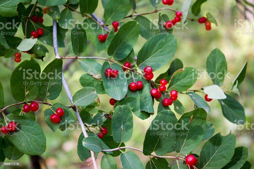 alder buckthorn - Frangula alnus stock photo
