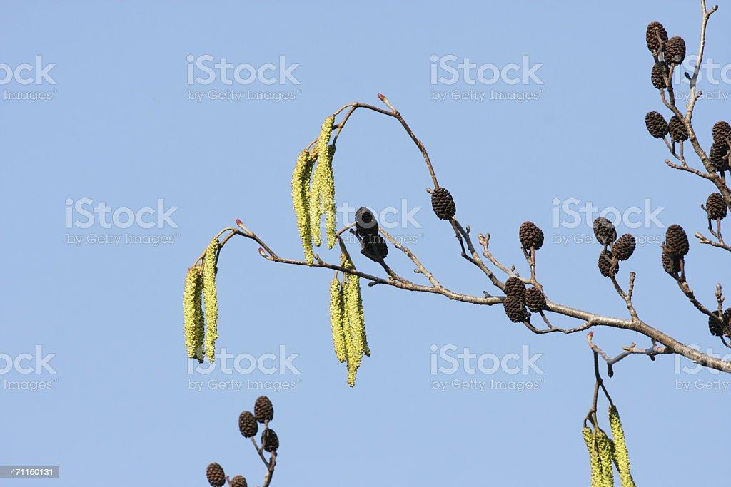 Alder catkins Alnus glutinosa hanging in winter blue sky stock photo