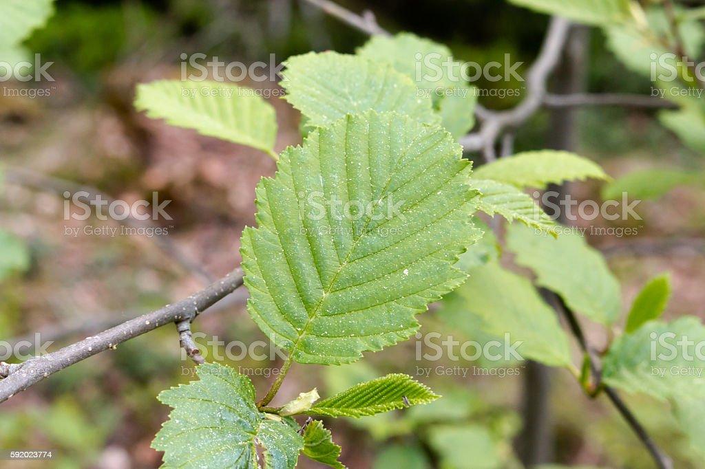 Alder Foliage stock photo