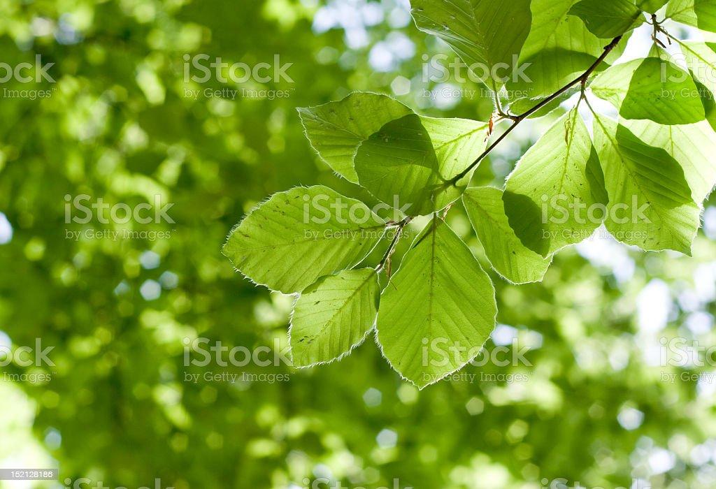 alder leafs stock photo