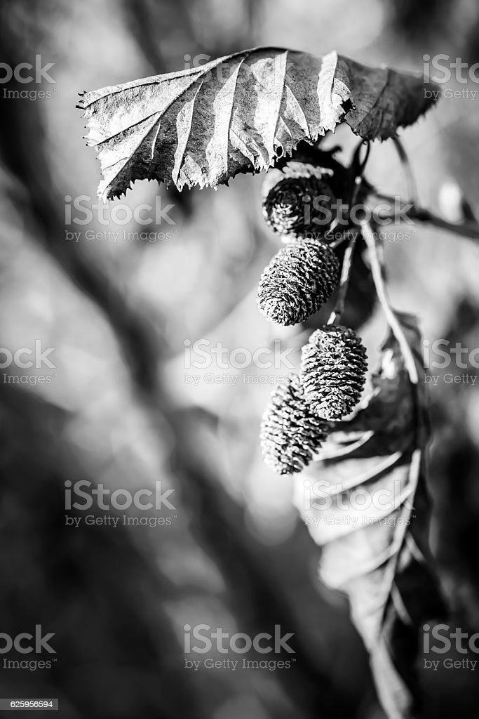 Alder Leaves and Cones macro stock photo