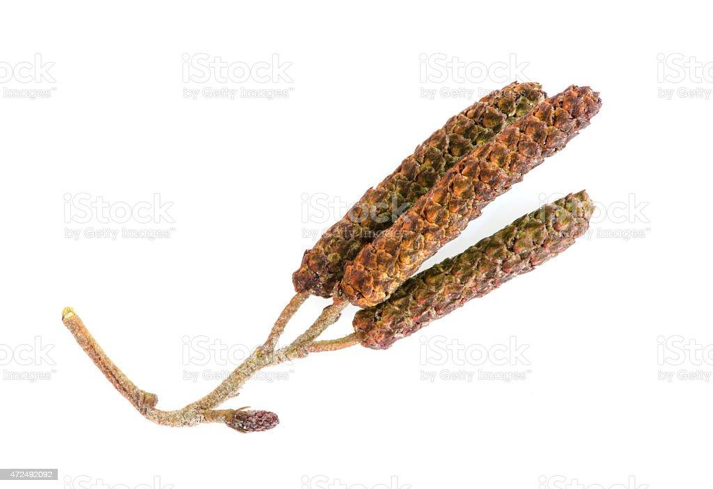 alder seeds stock photo
