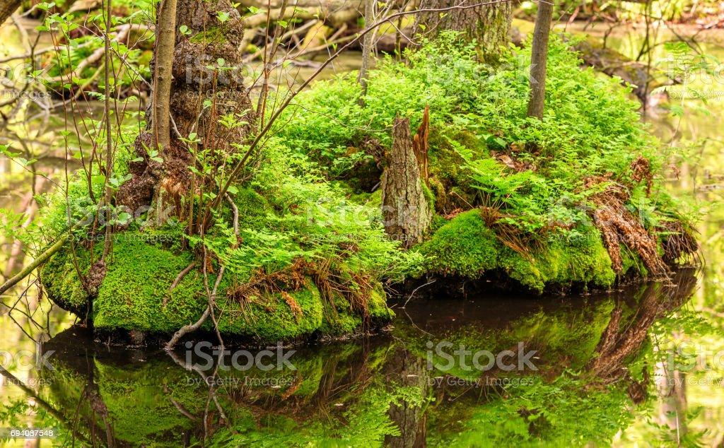 Alder swamp stock photo
