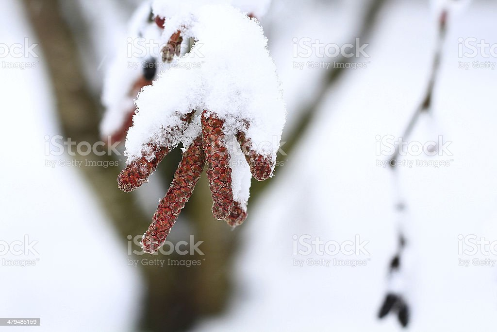 Alder Tree Catkins covered in Snow stock photo