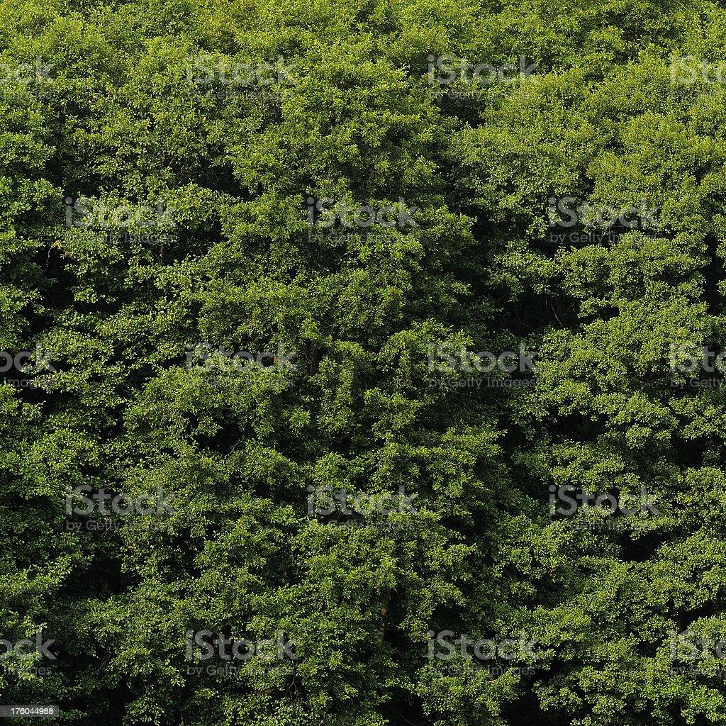 Alder tree foliage in summer close-up (Alnus glutinosa). royalty-free stock photo