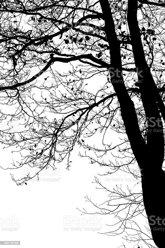 Alder tree on white background stock photo
