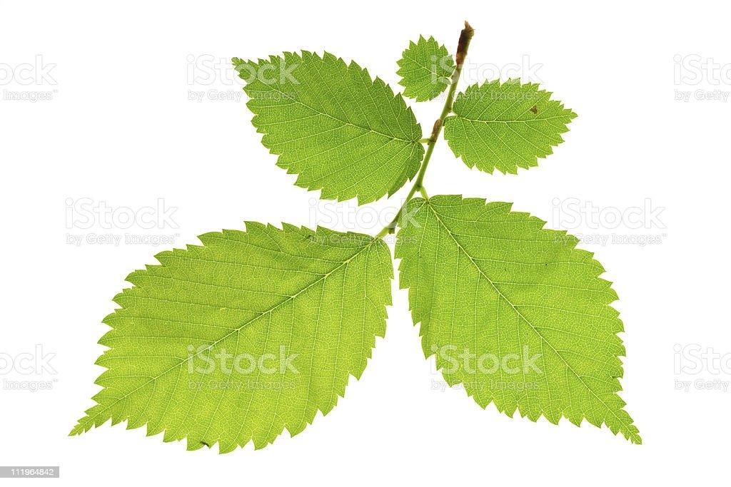 alder tree stock photo