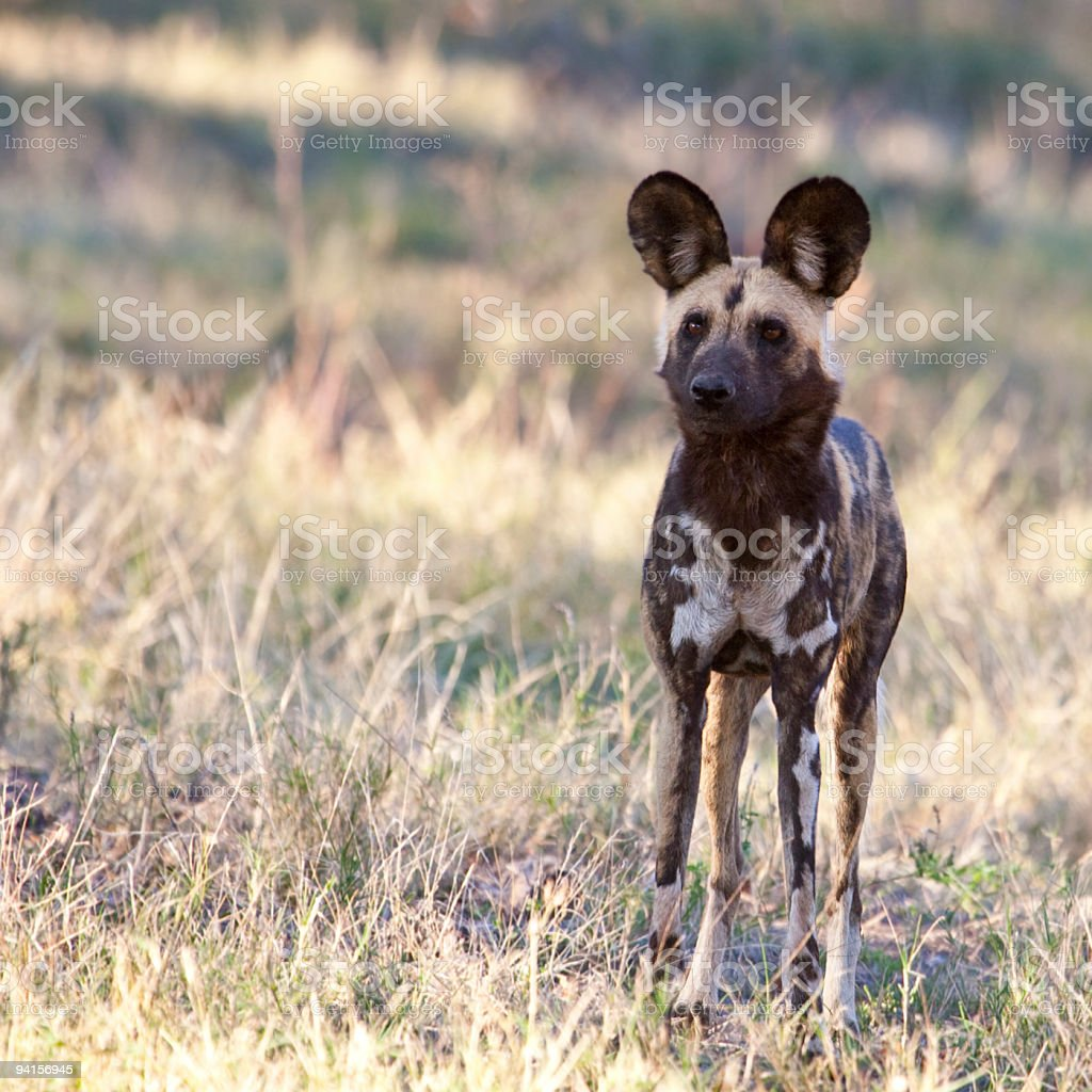Alert African Wild Dog, Lycaon pictus stock photo