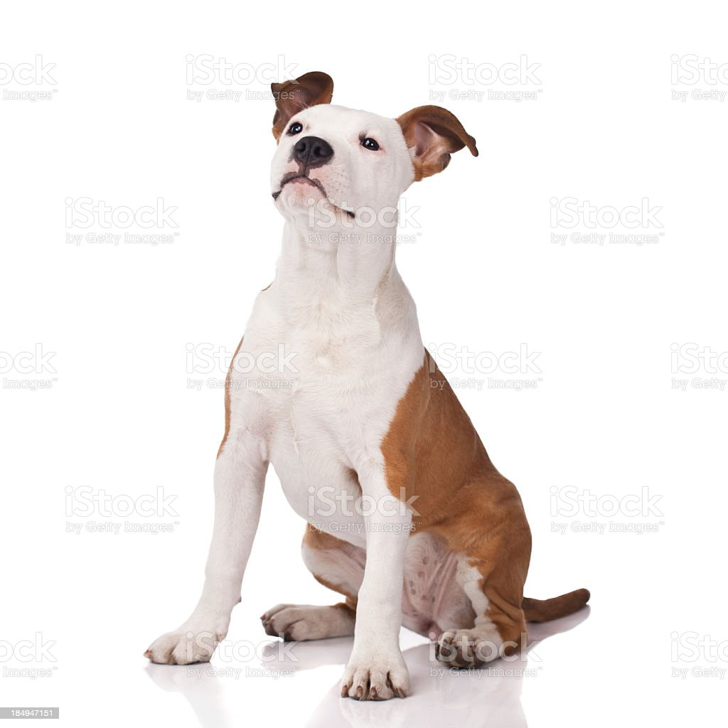 Alert American Staffordshire Terrier in obedience training stock photo