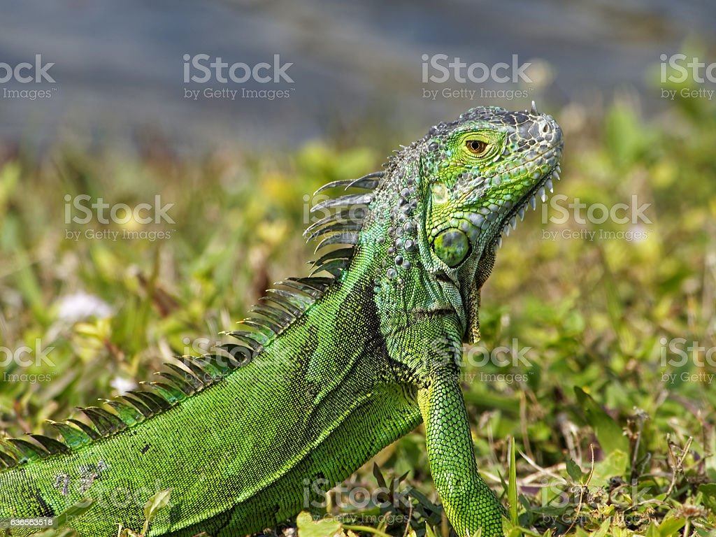 Alert Baby Green Iguana Camouflaged in Grass by Lake stock photo