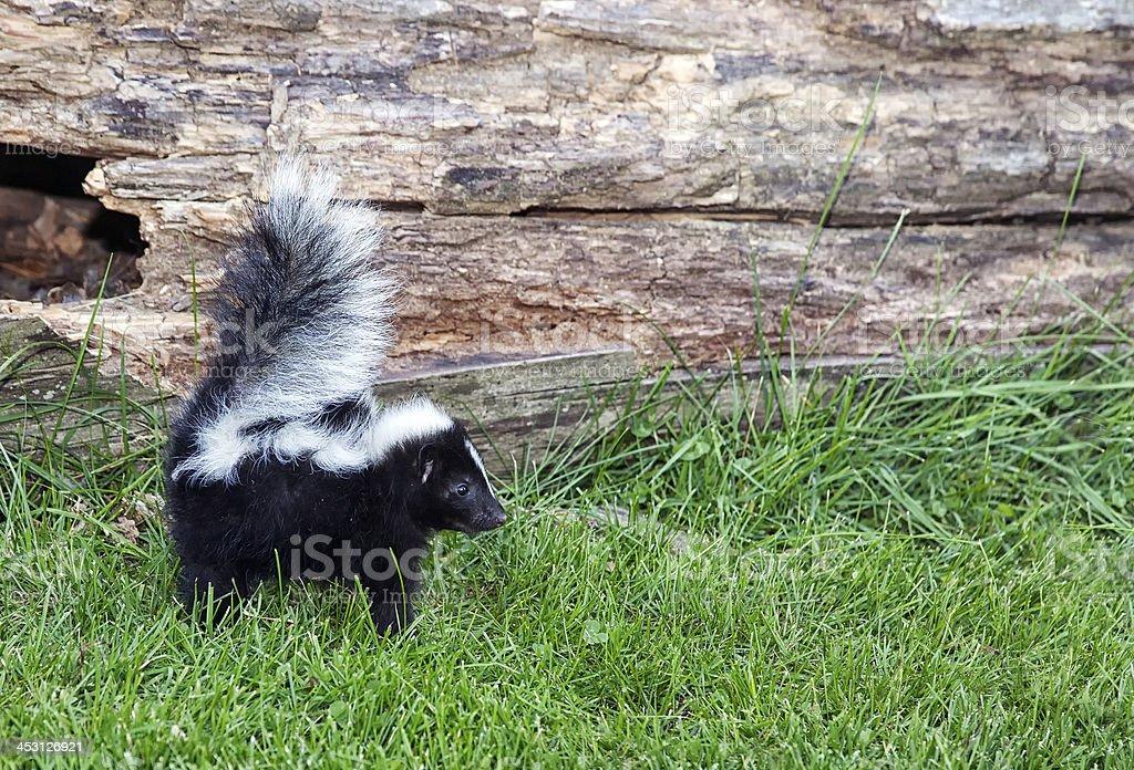 Alert baby skunk stock photo