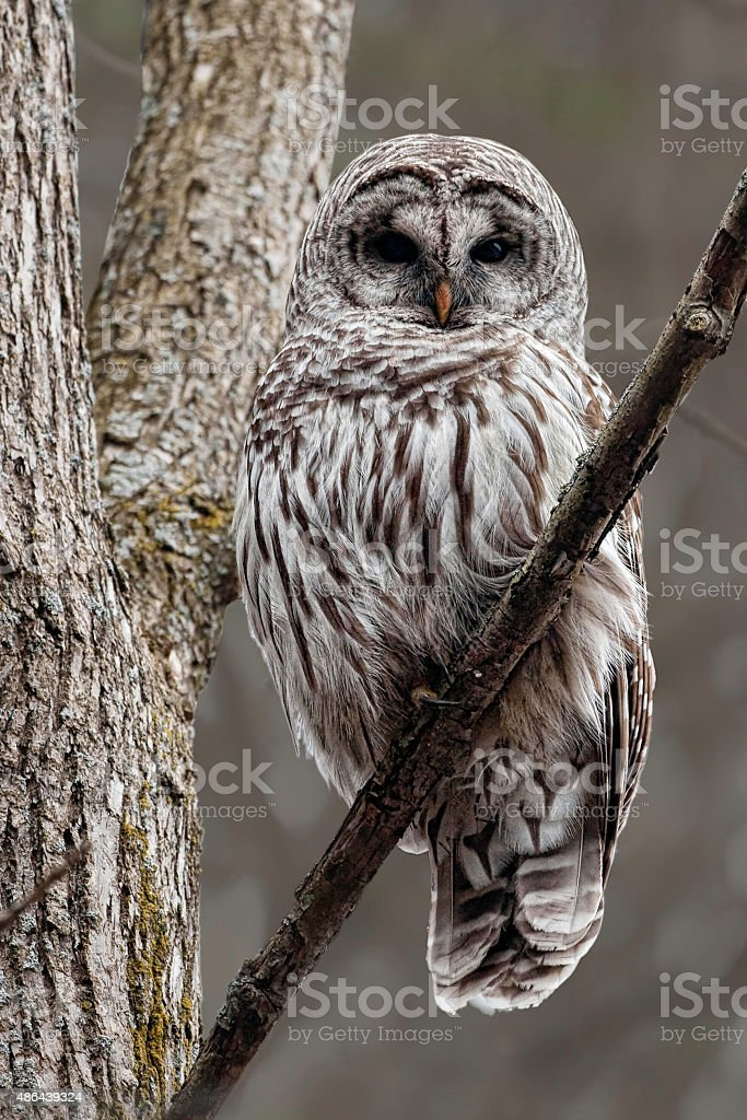 Alert Barred Owl, Strix varia, perched in a tree stock photo