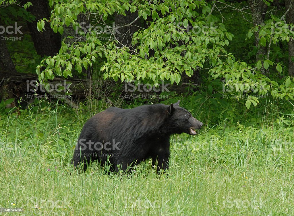 Alert black bear royalty-free stock photo
