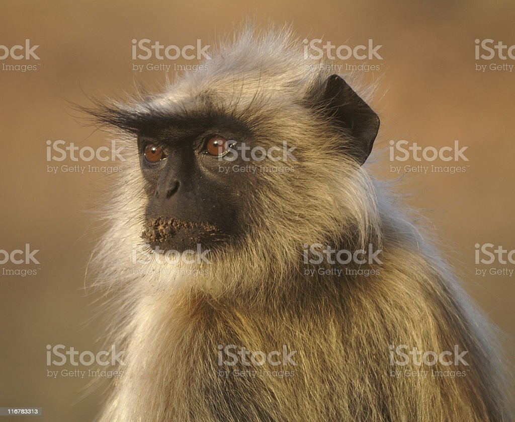 Alert black faced langur stock photo