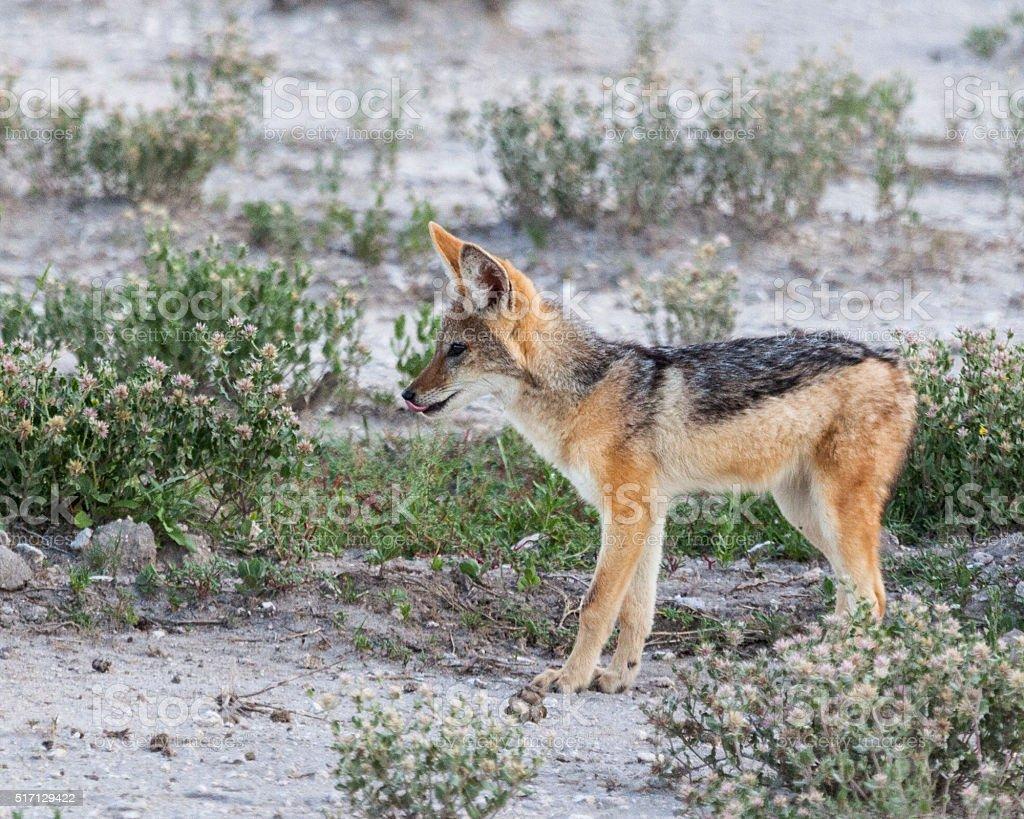 Alert Black-backed Jackal cub, Canis mesomelas; Etosha National Park, Namiba stock photo