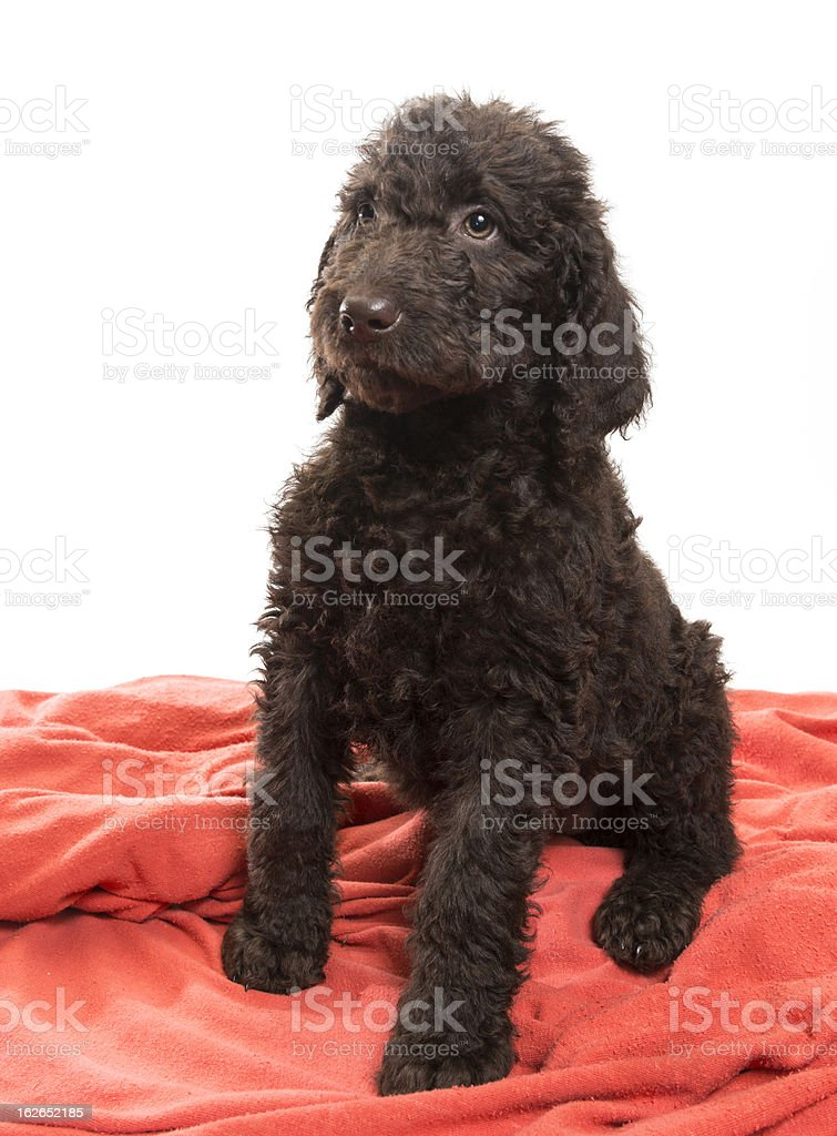 Alert Brown Labradoodle royalty-free stock photo