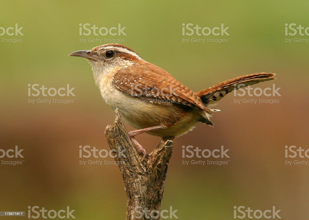 Alert Carolina wren perched on a branch  stock photo