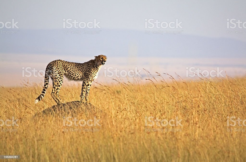 Alert Cheetah stock photo