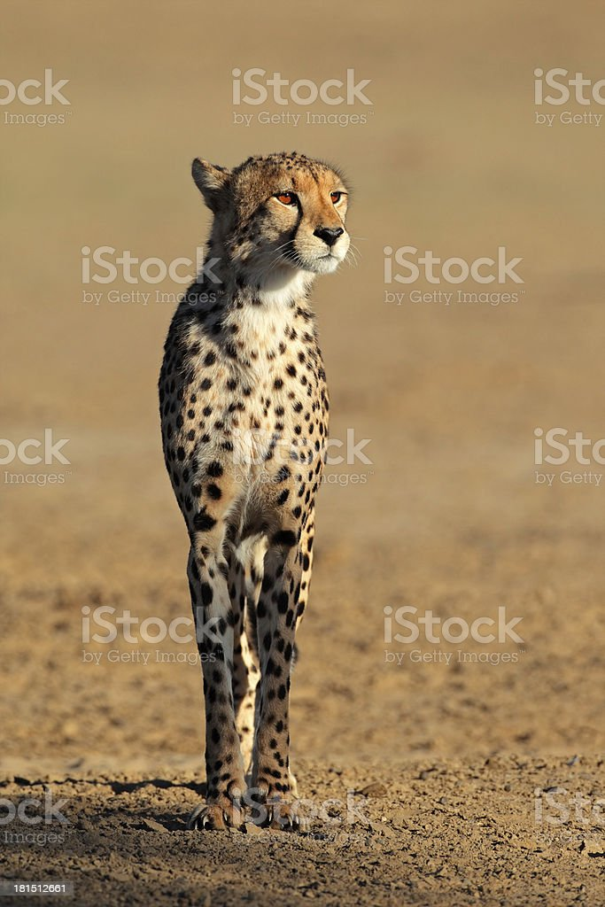Alert Cheetah royalty-free stock photo