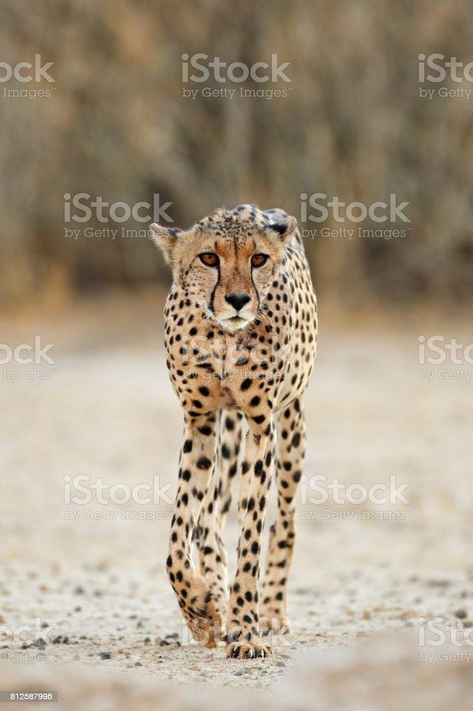 Alert Cheetah walking stock photo