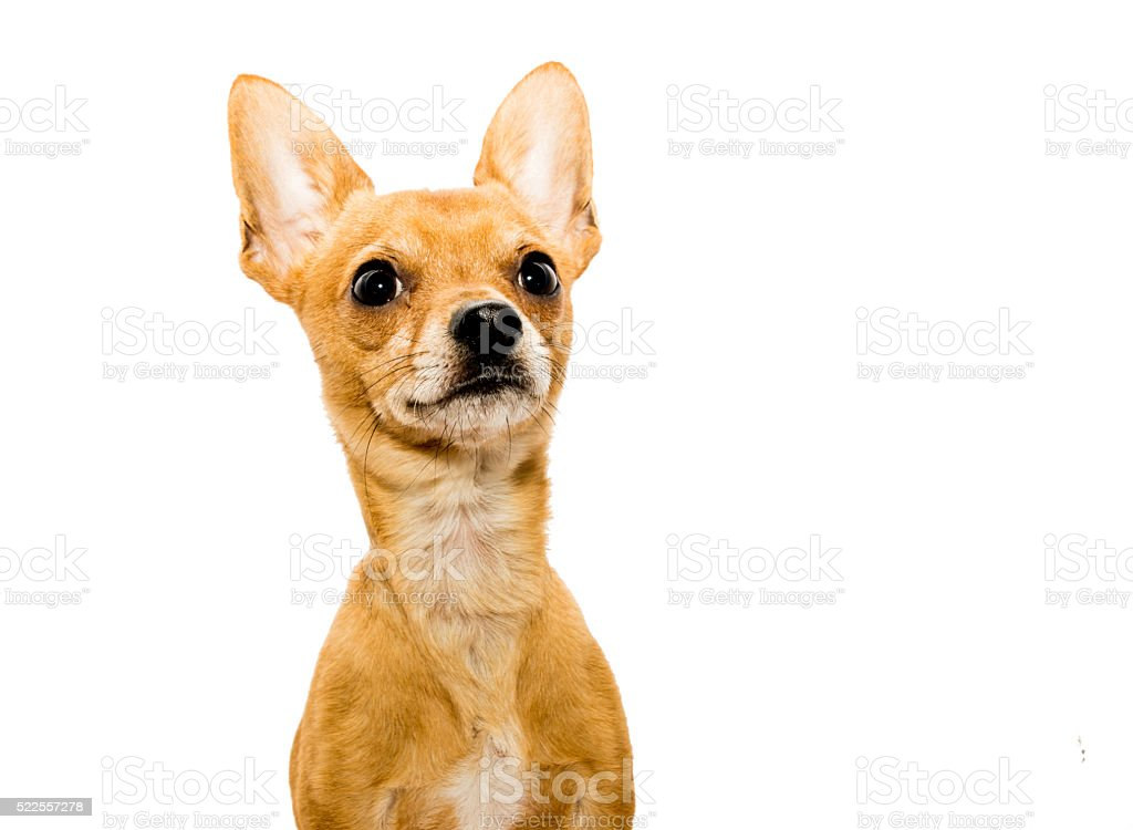 Alert Chihuahua Dog stock photo